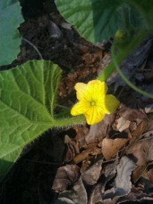 First Cantaloupe flower!